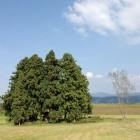 沢山神社の大杉