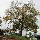 八珍柿の原木